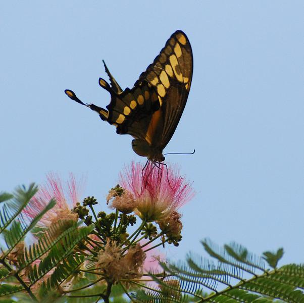 Swallowtail on Acacia Blossom