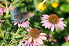 Blue Beauty (1): A butterfly enjoys the bright garden of our friends Kent and Nancy in Oklahoma.