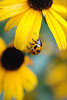 Yellow on Yellow: A ladybug matches her chosen flower in the butterfly garden of Kent and Nancy in Oklahoma.