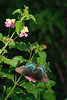 Blue Beauty: A butterfly enjoys the flower garden of Kent and Nancy in Oklahoma.