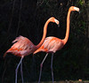 Caribbean Flamingoes 2