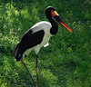 Saddle Bill Stork