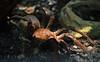 Bird Eater Tarantula
