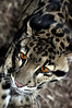 The Clouded Leopard (neofelis nebulosa) is native to Asia from the Himalayas to China and Indonesia.  In nature it preys on monkeys, birds pigs and porcupines.  Where its habitat overlaps with humans it may also take domestic animals. Its large, strong paws and long tail make it at home in trees and on the ground.