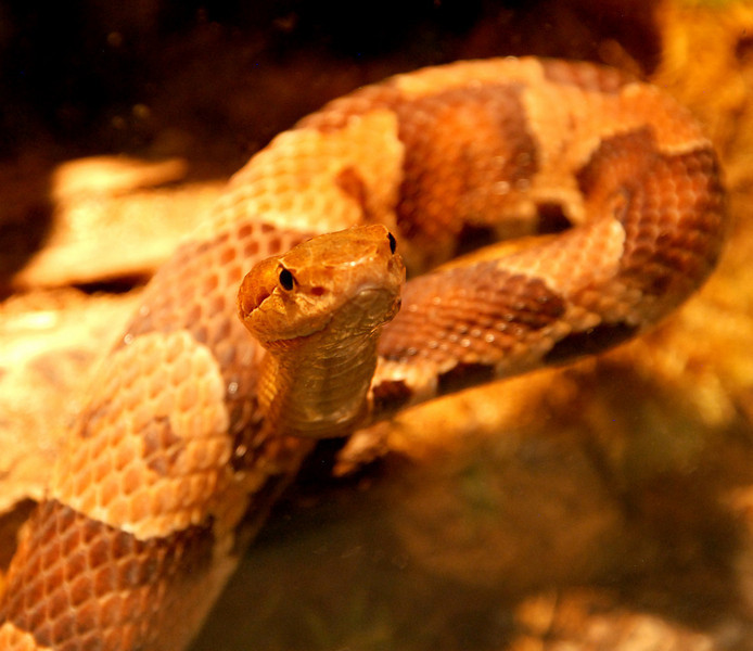 The Copperhead (agkistrodon contortrix) is a poisonious snake -- a type of pit viper -- found in North America.  Its venom attacks red blood cells.  However, while it may be encountered in many places, it has not caused many fatalies.  While its bite is painful, it is seldom deadly.