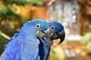 Hyacinth Macaws 3