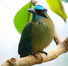 The Blue Crowned Motmot (momotus momota) sports a distinctive tail that is long and appears to end then start again.  In nature it is found in wooded regions of eastern Mexico, Central America, northern and central South America, and Trinidad and Tobago.