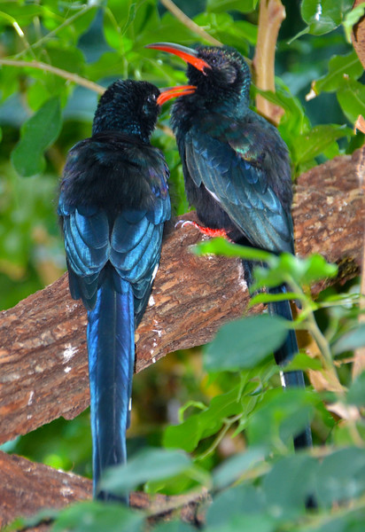 Red-Billed Wood Hoopoes