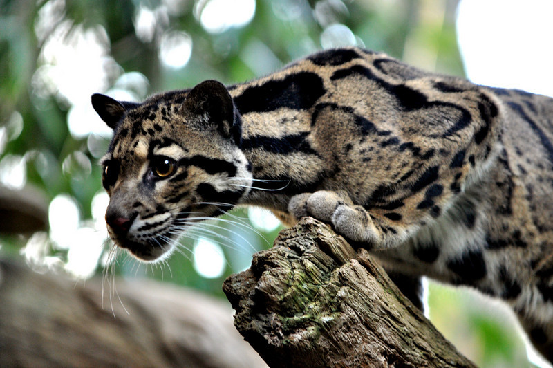 The Clouded Leopard (neofelis nebulosa) is native to Asia from the Himalayas to China and Indonesia.  In nature it preys on monkeys, birds pigs and porcupines.  Where its habitat overlaps with humans it may also take domestic animals. Its large, strong paws and long tail make it hunter capable of springing from tree to tree.
