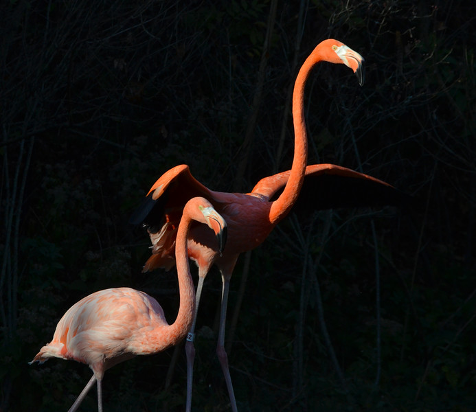 Caribbean Flamingoes 1