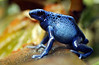 The Poison Dart Frog is so named because some think of it as the source of poison applied by South American Indians to their poison darts and arrows.  It belongs to a group of frogs in the family Dendrobatidae which are native to Central and South America.
