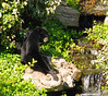Siamang (Hylobates syndactylus) is a gibbon monkey, the largest of nine such species.  Its original home is the jungles of Sumatra and Malaysia, where it eats fruit, insects and birds eggs.  Normally high in the tree tops, this Siamang seems contemplative during a visit to earth.