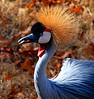 Crested Crane 1