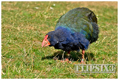 The iconic Takahe