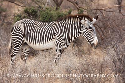 Grevy's Zebra. Samburu, Kenya.