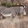 Grevy's Zebra.<br /> Samburu, Kenya.