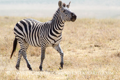 Zebra in Ngorongoro Crater