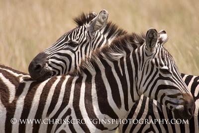 Zebra Friendship.