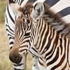 Zebra Foal Portrait.