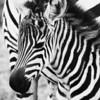 Zebra Foal.