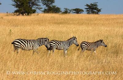 Zebra Family Migrating.