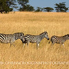 Zebra Family Migrating.