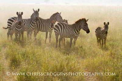 Zebra Family on the Dusty Plains.