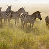 Zebra Family on the Dusty Plains.