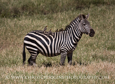 Zebra and Oxpecker friends.