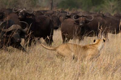 Tsaro lioness