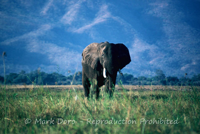 Bull Elephant in Zambia, taken from the Zambezi River, Northern Zimbabwe