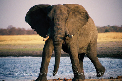 Bull Elephant, Sunset at Kazuma Pan National Park, Zimbabwe