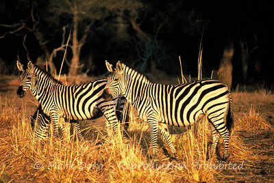 Zebra's at dawn, Zimbabwe