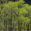cottonwoods along Virgin River / Zion Park