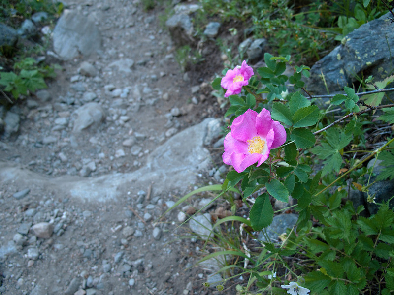 Wild rose at trails edge