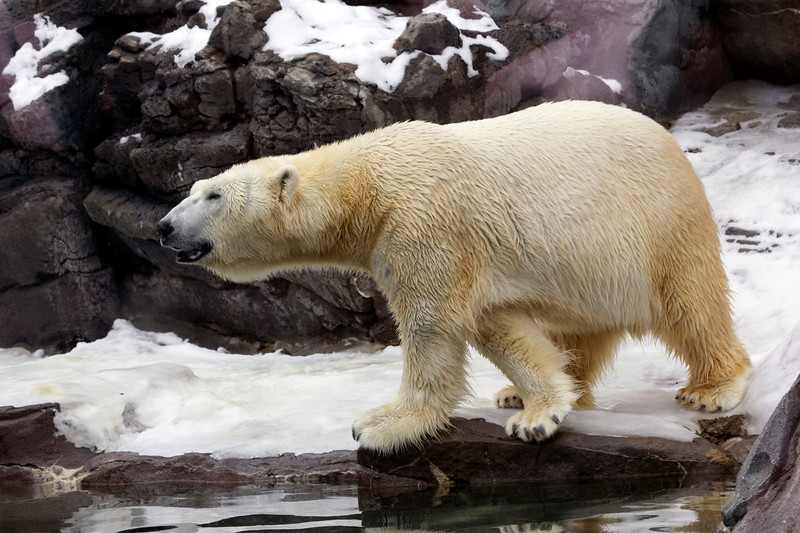 Henry Doorley Zoo  - Polar Bear
