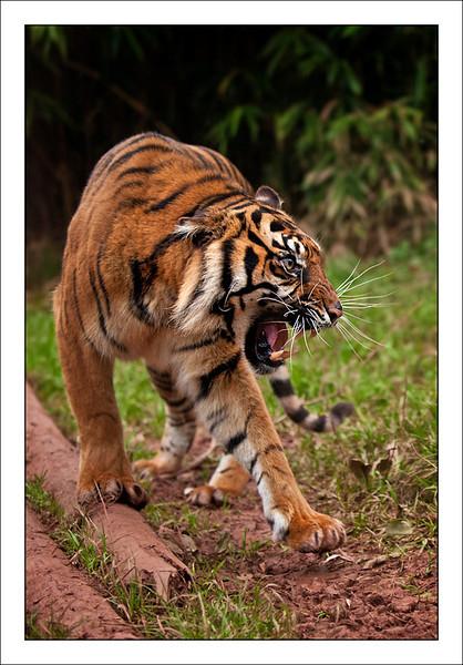 Tiger - South Lakes Wild Animal Park