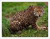 Jaguar - South Lakes Wild Animal Park