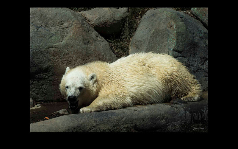 This Polar Bear cub -named Hudson- is just past nine months old in August 2012.