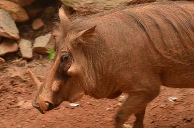 Pumbaa from the Lion King.