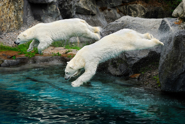 Synchronized Diving - I went to a very special zoo where animal's habitat is very well reproduced. There are no apparent cages, it is pretty neat. You see more pictures in the coming days and I will tell you more about this zoo. Vacations were great. Cheers - jy