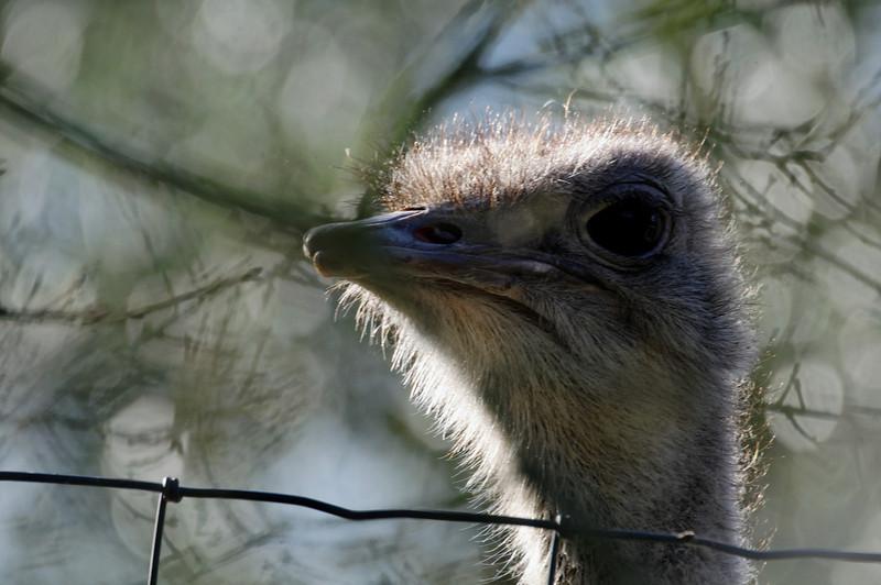Avestruz<br /> (Struthio camelus)