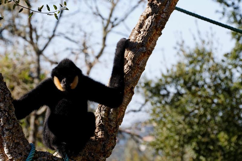 Gibão-preto