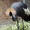 West African Black-Crowned Crane at LA Zoo - 5 July 2010