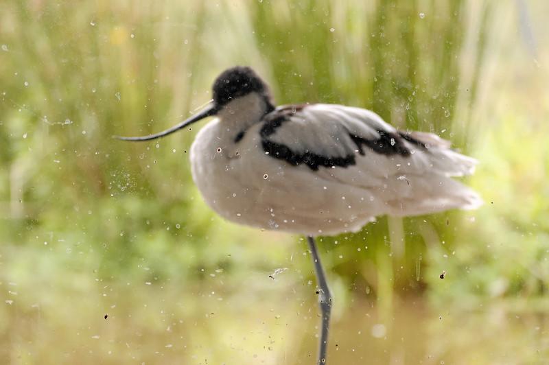 Alfaiate [Recurvirostra avosetta]<br /> Parque Biológico de Gaia