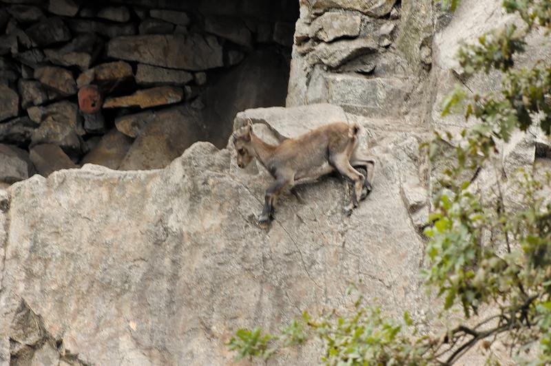 Cabra Brava [capra ibex]<br /> Parque Biológico de Gaia