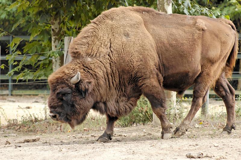 Bisonte Europeu<br /> [Bisan Banasus] <br /> Parque Biológico de Gaia