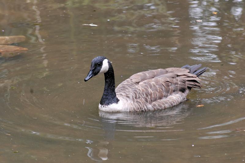Ganso-do-Canadá /Canadá goose [Brante canadensis]<br /> Parque Biológico de Gaia