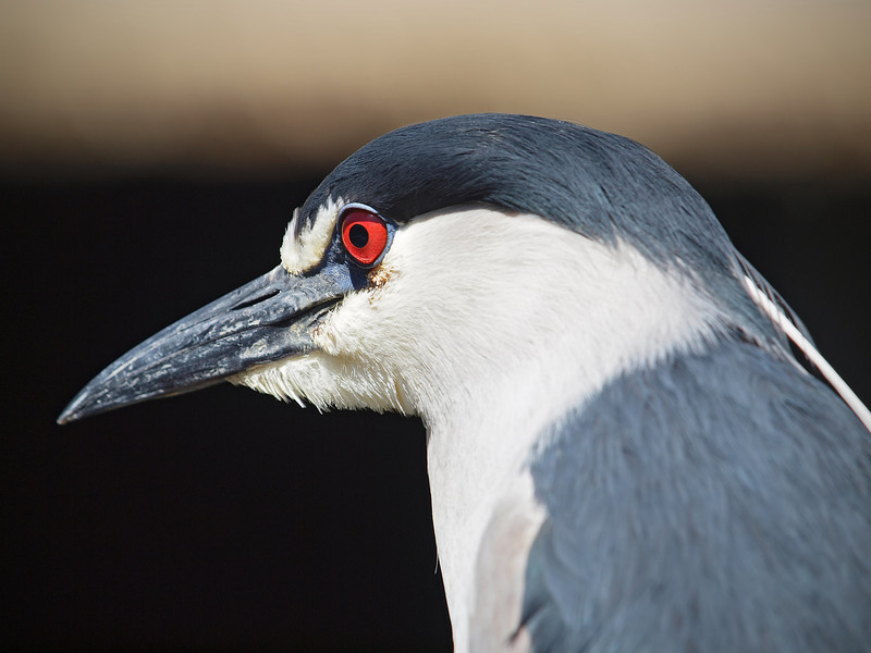 Black Capped Night Heron at Safari Park - 26 May 2010
