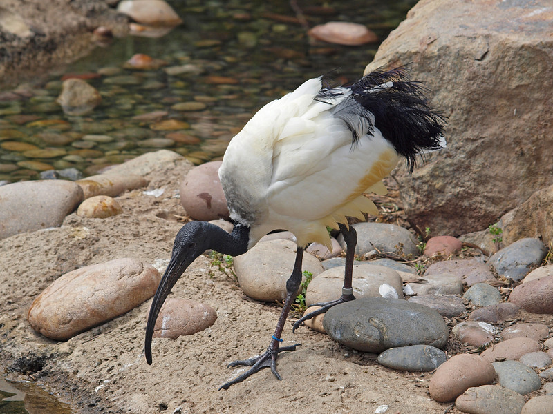 Sacred Ibis at Wild Animal Park - 11 Apr 2010